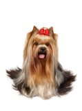 Yorkshire Terrier of show class Royalty Free Stock Photos