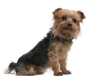 Yorkshire terrier, side view, looking away Royalty Free Stock Images