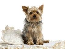 Yorkshire Terrier siedzi na dywanie, odizolowywającym zdjęcia stock