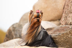 Yorkshire Terrier with silky hair growing in the wind. Sits on the rocks royalty free stock images