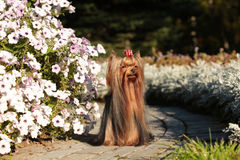 Yorkshire Terrier with silky hair. Growing in the wind, standing at the flower bed with petunias Stock Images