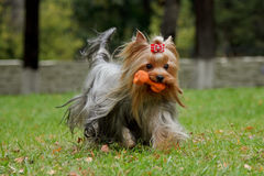 Yorkshire Terrier with silky hair playing with toy. Yorkshire Terrier with silky hair developing on wind, running with a toy in his mouth in the autumn park Stock Photo