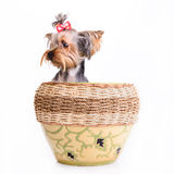 Yorkshire terrier sit Stock Photography