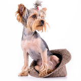 Yorkshire terrier sit Stock Image