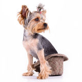 Yorkshire terrier sit Stock Images