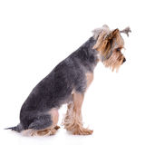 Yorkshire terrier sit Royalty Free Stock Image