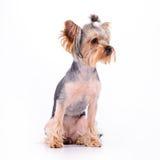 Yorkshire terrier sit Stock Photos