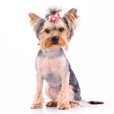 Yorkshire terrier sit Royalty Free Stock Photos