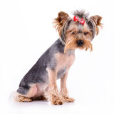 Yorkshire terrier sit Royalty Free Stock Photo