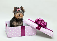 Yorkshire Terrier sits in a gift box. Dog breed Yorkshire Terrier sitting on white background with open gift box with bow Royalty Free Stock Photo