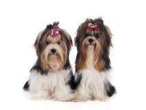 Yorkshire terrier sitter Royaltyfria Foton