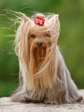 Yorkshire terrier sitting. Blown with the wind.  Yorkshire terrier Stock Image