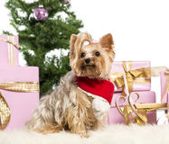 Yorkshire Terrier sitting Royalty Free Stock Image