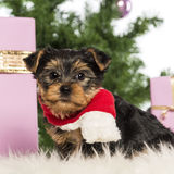 Yorkshire Terrier sitting Royalty Free Stock Images