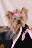 Yorkshire terrier sitting in a bag Royalty Free Stock Photos