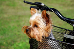 Yorkshire terrier sitting in basket bicycle Royalty Free Stock Image