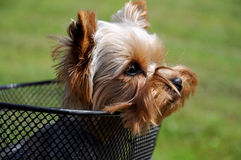 Yorkshire terrier sitting in basket bicycle Royalty Free Stock Images