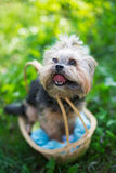 Yorkshire Terrier sitting in basket Royalty Free Stock Images