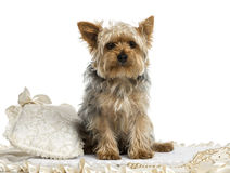 Yorkshire Terrier sitting on a carpet, isolated Stock Photos