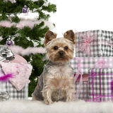 Yorkshire Terrier, sitting with Christmas tree Stock Photo