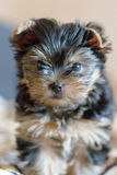 Yorkshire terrier sitting on the couch at home Stock Images