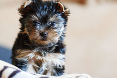 Yorkshire terrier sitting on the couch at home Stock Image