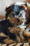 Yorkshire terrier sitting on the couch at home Royalty Free Stock Images