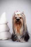 Yorkshire Terrier sitting in the crown Royalty Free Stock Images