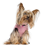 Yorkshire terrier sitting, dressed and looking Stock Photos