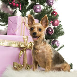 Yorkshire terrier sitting in front of Christmas decorations Royalty Free Stock Images