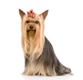 Yorkshire Terrier sitting in front. isolated on white background Royalty Free Stock Photo