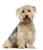 Yorkshire Terrier, sitting in front of white Stock Image