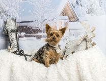 Yorkshire terrier sitting on fur rug in winter scene. Yorkshire terrier sitting on fur rug, winter scene Royalty Free Stock Photos