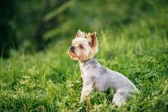 Yorkshire terrier is sitting in the green grass royalty free stock photos