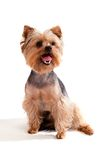 Yorkshire Terrier, sitting and looking at camera Stock Images