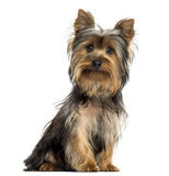 Yorkshire terrier sitting, looking at the camera, isolated Royalty Free Stock Image