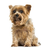 Yorkshire terrier sitting, looking at the camera, 6 years old Stock Images