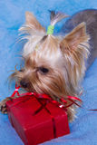 Yorkshire terrier sitting near the gifts Stock Images