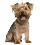 Yorkshire terrier, sitting and panting Stock Photo