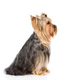 Yorkshire Terrier sitting in profile.  on white ba Stock Image