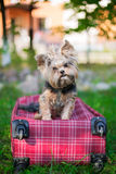 Yorkshire Terrier sitting on red suitcase and looking at camera. Selective focus Royalty Free Stock Photo