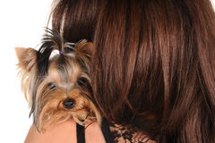 Yorkshire Terrier sitting on the shoulder Stock Photography