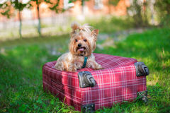 Yorkshire Terrier sitting on suitcase and looking away. Yorkshire Terrier sitting on red suitcase and looking away. Selective focus stock image