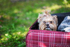 Yorkshire Terrier sitting into suitcase. Yorkshire Terrier sitting into red suitcase. Selective focus stock images
