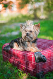 Yorkshire Terrier sitting on suitcase. Yorkshire Terrier sitting on red suitcase. Selective focus royalty free stock photo