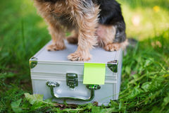 Yorkshire Terrier sitting on tin suitcase. Selective focus stock photo