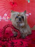 Yorkshire Terrier sitting with tongue hanging out next to red heart decoration. Tiny adorable Yorkshire Terrier sitting with tongue hanging out next to red heart royalty free stock photography