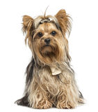 Yorkshire Terrier sitting wearing bows, isolated Stock Photography