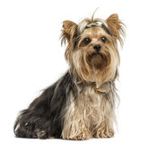 Yorkshire Terrier sitting wearing bows, isolated Royalty Free Stock Photography