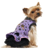 Yorkshire Terrier sitting and wearing purple dress Stock Images